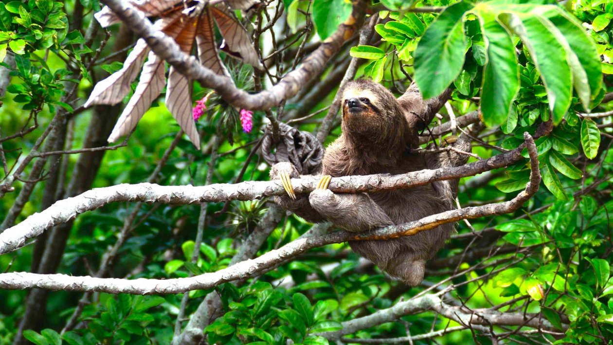 Faultier auf einem Baum im Regenwald